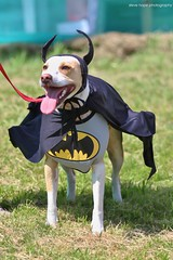 Batdog! Jerry Green's Dog Rescue Summer Show 2017 - North Lincolnshire (SteveH1972) Tags: dog dogs pet pets animal animals cute cuteness adorable canon7d canon 7d canon70200 nonis dogshow northlincolnshire lincolnshire england uk britain northernengland 2017 spiderdog fancydress dogcostume batdog batman outside outdoors outdoor