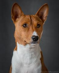 Houdini The Basenji | Portrait (Lundeful) Tags: houdini basenji dog dogs puppy portrait studio headshot closeup animals animal cute pup canon speedlite
