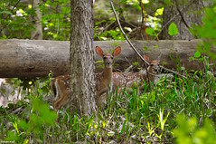 We're all ears (Jake (Studio 9265)) Tags: in corydon woods state park obannon summer june 2017 nikon d5000 indiana usa united states america forest trees green photography nature deer wildlife animal animals wooded ears grass