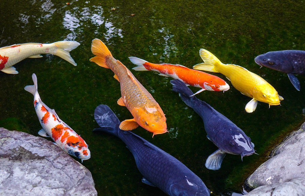 The world 39 s best photos of goldfish and red flickr hive mind for Ornamental pond fish golden
