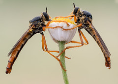La hermandad (Marco Díaz Cádiz) Tags: macro macronature mundomacro nature ngc wildlife waterdrop apilado asesina insecto microfourthirds digital pareja zuiko campo closeup macrofotografia s macromondays