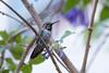 Anna's Hummingbird on a Tree of Iochroma, Oakland, California (takasphoto.com) Tags: 4k 4kvideo 50140mm apsc angiosperms animal anna annas annashummingbird asteridae bird bokeh ecuador event floweringplant fuji fujixt2 fujixt2fujifilm fujifilm fujinon fujinonxf50140mmf28rlmoiswr greenplants hummingbird iochromacyanea iochromacyaneum iochromacyaneumroyalblue kingdomplantae lens madeinjapan magnoliopsida mirrorless mirrorlesscamera nature outdoor plantae portrait pro professional professionallens royalblue solanaceae solanales telephoto tracheophyta veilchensträucher violbusksläktet xt2 xtranscmosiii xtransiii xf f28 イオクロマ イオクロマ・キアネウム イオクロマ・キアネウム'トレバー' イオクロマ属 キク亜綱 ナス目 ナス科 フジノン フジフィルム ミニエンジェルストランペット ミラーレス モクレン綱 双子葉植物綱 植物 維管束植物門 自然 落葉低木 落葉樹 被子植物 fujifilmx fujix