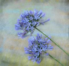 Happy summer! (Aránzazu Vel) Tags: flower flor textura texture summer verano estate fiore colors colores nature naturaleza