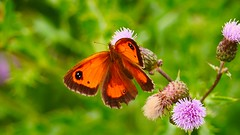 Butterfly orange - 3349 (YᗩSᗰIᘉᗴ HᗴᘉS +6 500 000 thx❀) Tags: butterfly papillon orange insect nature hensyasmine macro green flower natural panasonicdmcgx8 panasonic