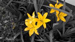 DSC01072 (Aldona Induła) Tags: sony a6000 bezedycji flower garden kwiat notedited ogród prostozaparatu straightfromthecamera