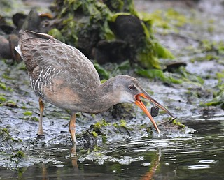 The Elusive Clapper Rail with a Snack