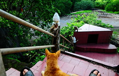 ,, The Dude-ess ,, (Jon in Thailand) Tags: jungle monkey monkeys primates primate mama misslegsthezoomer dog k9 dogs k9s stairs wildlife dogears toes mytoes handrail nikon nikkor d300 175528 thespirithouse trees green red purple littledoglaughedstories