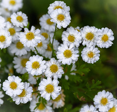 Yellow Faces (Jocey K) Tags: tanacetumparthenium feverfew newzealand nikond750 southisland christchurch flowers