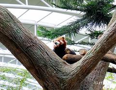12 (樂活的大方) Tags: 20170724sb 新加坡動物園 river safari