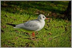 Black Headed Gull Winter Plumage. (ro-co) Tags: fz200 panasonic birds birdwatcher borders gulls