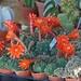 Cactaceae and Succulent plants