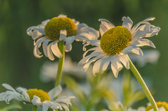 life is simple (Vanili11) Tags: simple daisies matchpointwinner mpt560