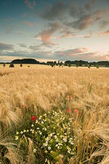 Barley dawn (Peter Connell) Tags: dawn redsky barley poppies daisies leefilters wiltshire england landscape clouds