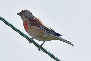 Linnet on a Wire