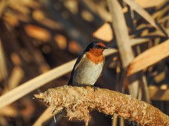 Welcome Swallow (Hirundo neoxena) (njohn209) Tags: birds nikon p900 nz