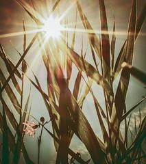 Spray n Pray (197/365) (iratebadger) Tags: nikon nikond7100 nature nikonphotography nikkor natural d7100 dark depthoffield dof countryside country vignette askhambog green rural grass iratebadger sunburst