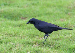 Cuban Blackbird _ Dives atroviolaceus (Kremlken) Tags: nationalhotel lahabana cuban birds birding blackbirds endemic endemics neotropical