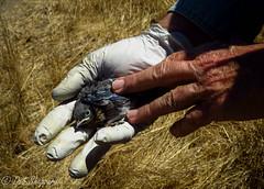 Tolay Lake (Clothespin Lady) Tags: babies westernbluebird birdhousemonitoring