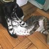 Jupiter (fka Tarzana) loves her new mommy #happytails #21kittens (Jimmy Legs) Tags: jupiter fka tarzana loves her new mommy happytails 21kittens