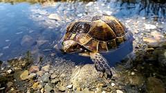 Turtle (Arak Iran) (AnimalPix) Tags: turtle arak iran