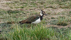 Lapwing (DougRobertson) Tags: norfolk lapwing bird birdwatcher wader nature animal wildlife