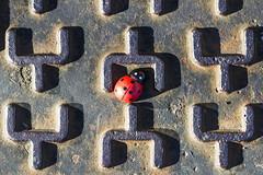 TEXTURE N. 3 (FRANCO600D) Tags: memberschoicetexture texture hmm macromondays macro red rosso labirinto labyrinth canon eos600d franco600d coccinella ladybug