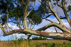Gum Tree doing its own thing! (maginoz1) Tags: landscape flora fauna kangaroo cat franky gumtree bush tranquility winter july 2017 bulla melbourne victoria australia canon g3x