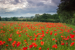 Shepshed Poppies - Standard Shot (Julian Barker) Tags: shepshed loughborough leicestershire east midlands england uk poppy poppies tickow lane red landscape sky cloud dawn diffused light backlit backlighting flora countryside flower field summer july canon dslr 600 julian barker 2017
