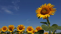 The Family (lady_sunshine_photos) Tags: thefamily sunflowers sunflowersfield sonnenblumen gelb sonnenblumenfeld yellow blau himmel sky blue gaweinstal flower blumen flowers weinviertel winequarter loweraustria niederösterreich at austria österreich europe europa sommer summer juli july 2017 ladysunshine ladysunshinephotos sonyalphanex7 supershot wonderfulworld farbwolke alcatel nature travel sunshine sonnenschein theworldisbeautiful sundaylights