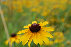 Black-Eyed Susan (moonwatcher13) Tags: blackeyedsusan rudbeckiahirta asteraceae wildflowers mlkpark maryland whiteoak d40