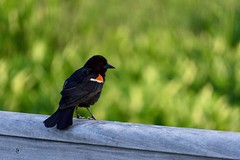 Red-winged Blackbird ((Jessica)) Tags: alewifebrookreservation wildlife wildlifewednesday blackbird bird bokeh redwingedblackbird cambridge a6000 boston massachusetts nature newengland sony animals