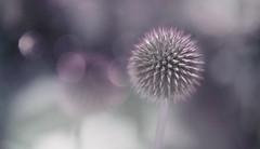 Globe Thistle (z_a_r_a___c_a_l_i_s_t_a) Tags: macro mondays texture globe thistle flower purple grey sage dream wild outdoors