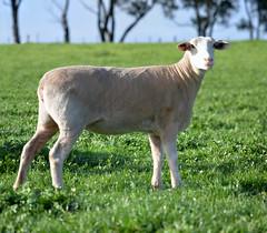 White Suffolk Ewe_DSC_2018_stitch_2 (renrut01) Tags: work sheep white suffolk ewe victoria beeac cotter grazing