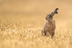 Rainy day (bobby3101985) Tags: säugetier europeanrabbit feld stoppelacker regen acker feldhase hase rain rabbit