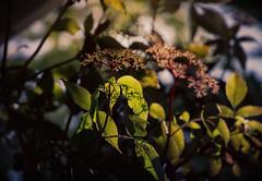 Sunshine & Shadow (Colormaniac too - slowly catching up) Tags: nature light sunshineshadow sunlight shadow morning macro closeup elderberry pacificnorthwest olympicpeninsula washingtonstate sequim summer topaztextureeffects