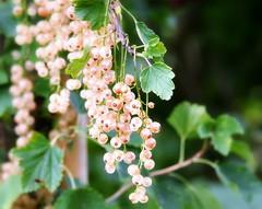 _champagne berries (SpitMcGee) Tags: johannisbeere currant weis white champagne garten garden spitmcgee explore 76