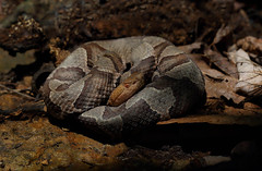 Northern Copperhead (ashockenberry) Tags: copperhead nature snake wildlife hidden viper venomous