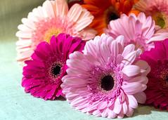Primavera - Spring (Eva Ceprián) Tags: naturaleza flor nature flower flores flowers margarita daisy ramo bouquet primavera spring gerbera nikond3100 tamron18270mmf3563diiivcpzd evaceprián