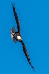 Bald Eagle Starting Its Dive (Vic Zigmont) Tags: wildlife birds eagels baldeagle raptor birdinflight eagleinflight