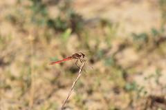 Sympetrum fonscolombii (esta_ahi) Tags: santperemolanta olèrdola penedès barcelona spain españa испания lasaulonera sympetrumfonscolombii sympetrum fonscolombii libélula libèllula dragonfly anisoptera odonata insectos fauna