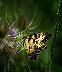 Simply Irresistible (Portraying Life, LLC) Tags: dbg6 da3004 hd14tc k1 michigan pentax ricoh unitedstates butterfly closecrop handheld nativelighting