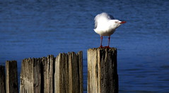 Happy SILVER GULL Fence Friday (Lani Elliott) Tags: nature naturephotography lanielliott bird gull silvergull white feathers water fence happyfencefriday sea