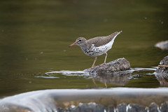Spotted Sandpiper (NicoleW0000) Tags: spotted sandpiper bird watching nature pond lake