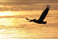 Brown Pelican Inflight Silhouette Sunset (dbadair) Tags: wildlife nature bird shore flight gulf ft desoto 7dm2 canon sun sunset dusk evening twilight