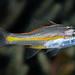 Yellowstriped Cardinalfish, juvenile - Ostorhinchus cyanosoma