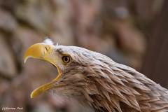 PYGARGUE A QUEUE BLANCHE (Passion Animaux & Photos) Tags: pygargue queue blanche whitetailed eagle volerie aigles alsace france