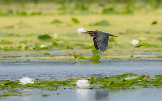 Green Heron fly-by