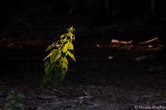 Dernier rayon - Last beam (Nicolas Rouffiac) Tags: nature rayon lumière beam light plant plante sunbeam soleil crépuscule dusk twilight forêt forest