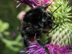 20170715-P7151094 (Tobe_75) Tags: macro olympus omd mzuiko mzuiko30mmmacro omdem5ii em5ii em5mk2 bumblebee hummel garden garten summer sommer