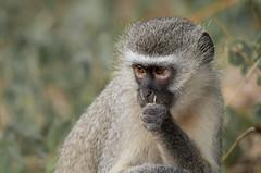 Vervet Monkey (dunderdan77) Tags: monkey vervet nature wildlife outdoor south africa kruger national park nikon tamron satara